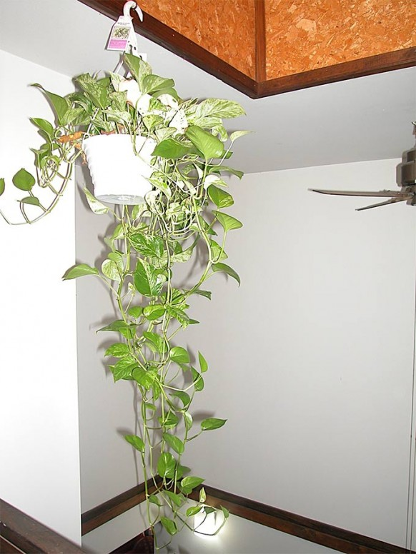indoor-money-plant